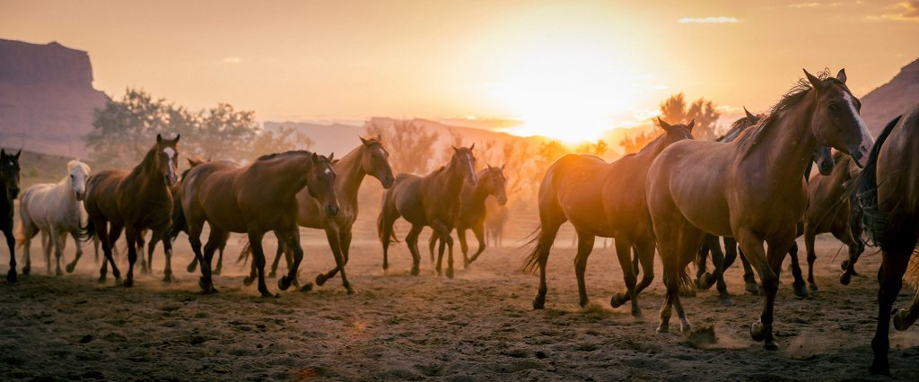 In Colorado, Horses are Driven to a New Pasture as the Sun Sets in the West. Horse Herds are Working Animals on Ranches in this Photography Series.