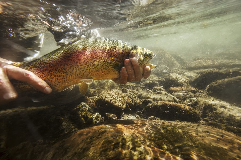 This Beautiful Photograph of a Rainbow Trout Captures the Dynamic Lights and Currents of Clear Mountain Streams. A Fisherman's Hands Hold His Prize.