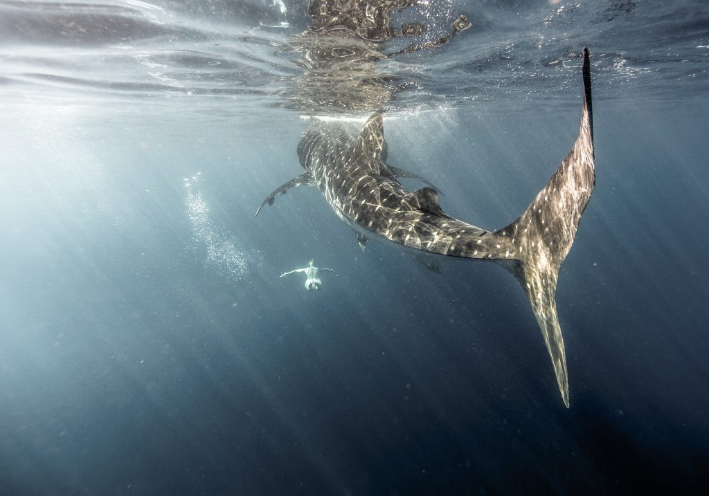This Photograph is the Real Image of a Swimming Woman Below a Whale Shark as Sunlight Slants through the Water. Shot Using a Canon 5D Mark III and Aquatech Sport Housing.