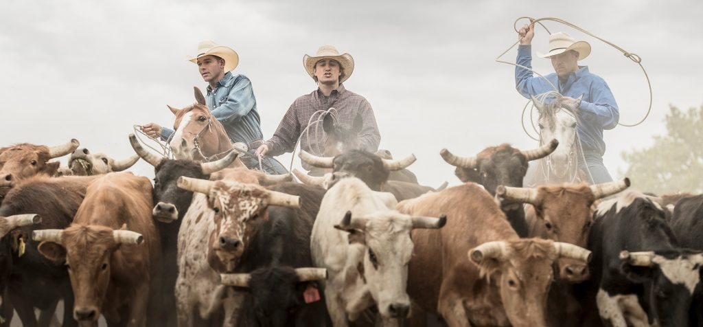 Three Cowboys in Western Wear Ride Horses to Drive Steers in Colorado. Cowboy Clothes are Iconic in this Series by Tyler Stableford.