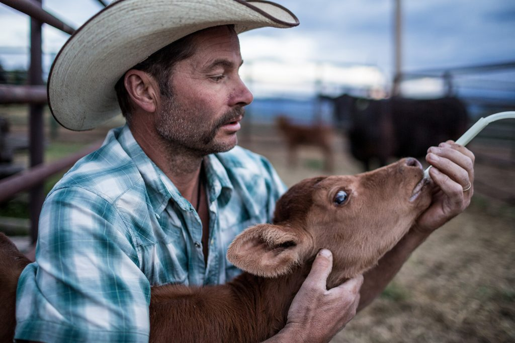 Animal Husbandry is Essential for Farmers. Young Calves Often Receive Special Care from Farmers, Ranch Hands and Cowboys.