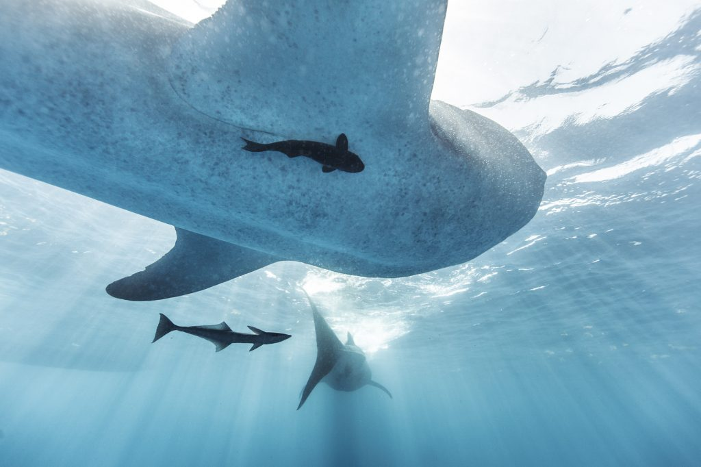 The Symbiotic Relationship of Pilot Fish and Whale Sharks is Captured in this Fine Art Photograph.