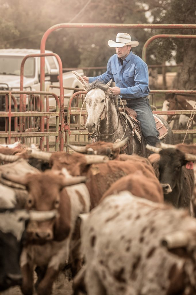 The Modern-day Cowboy in This Photograph Relies on His Horse, His Truck and His Rope to Move Steers into a Holding Pen.