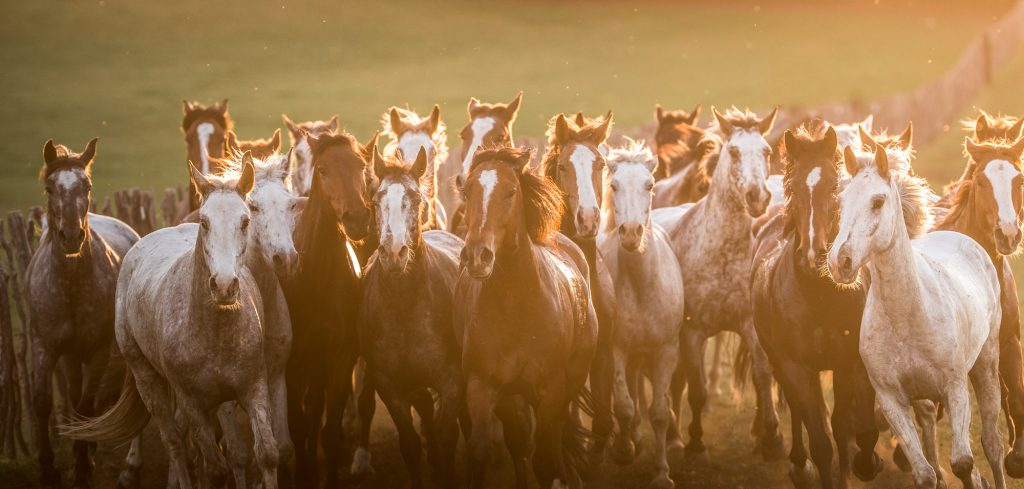 Dust and Sunset Make this Dramatic Portrait of a Horse Herd into a Beautiful Image of Western Life.