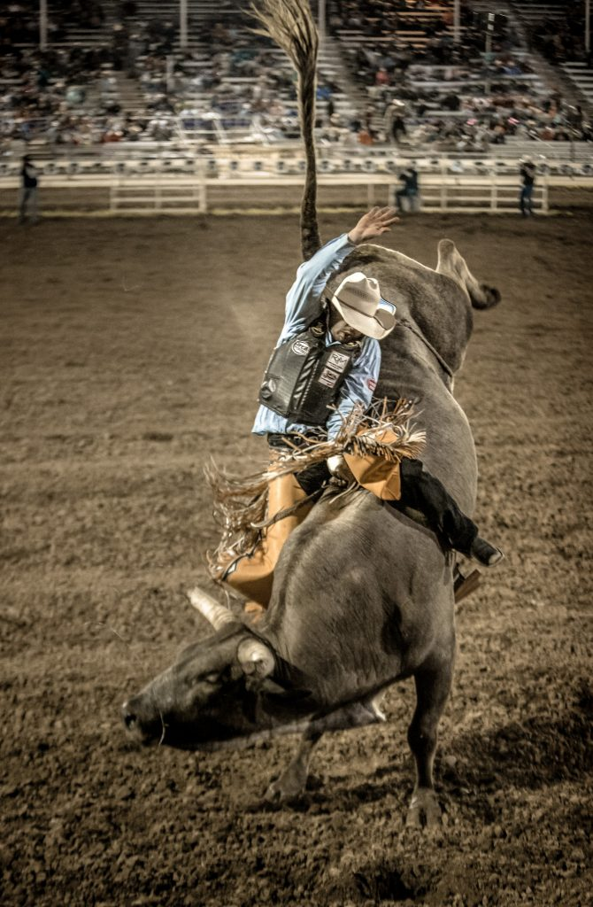 The Intensity of this Extreme Sport is Captured Clearly by this High Resolution Action Shot of a Bull-Rider in the Ring at a Western Rodeo.